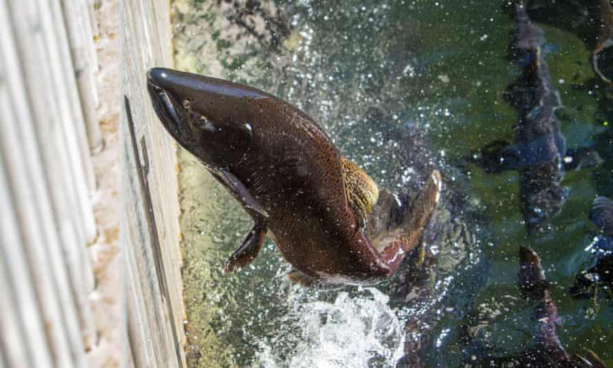 A spring chinook salmon reaches the end of a run at a hatchery.