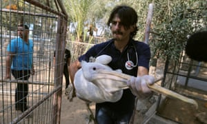 A pelican being taken out of Gaza zoo.