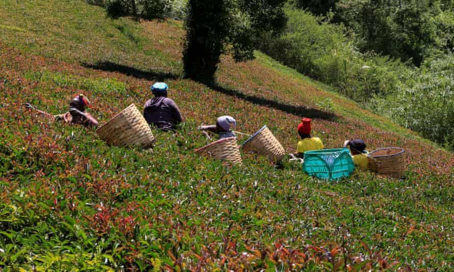 Workers pick purple tea leaves at the Gatura Greens purple tea plantation in Gatura settlement of Muranga, Kenya.