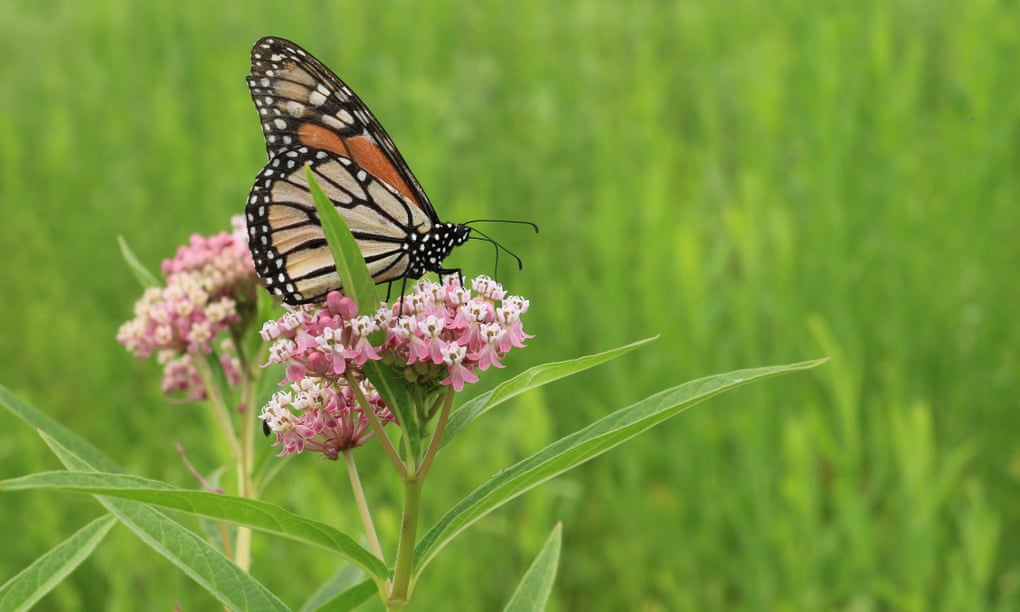 Western monarch butterflies are nearly extinct. California has a plan to save them