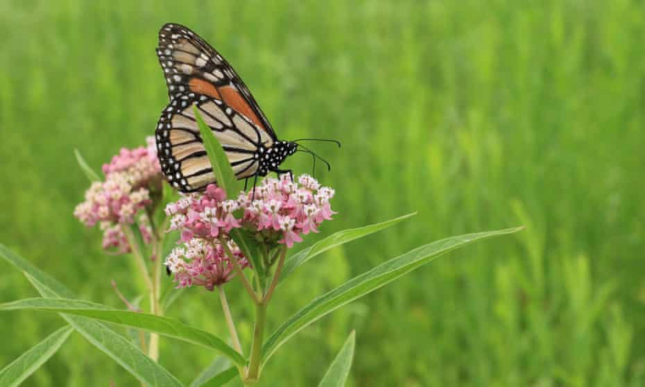 Western monarch butterfly populations have sharply declined in recent years.