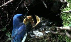Hawk cuckoo chick