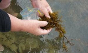 Hiding in the kelp in their little brown skins - Greeno harvests live maireener shells on Flinders Island in 2014.