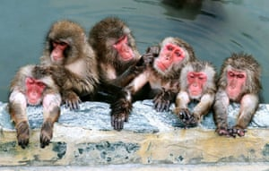 Japanese macaques relax in a hot spring at Hakodate tropical botanical garden, Hokkaido, Japan