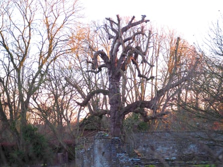The pruned horse chestnut at Wenlock Priory
