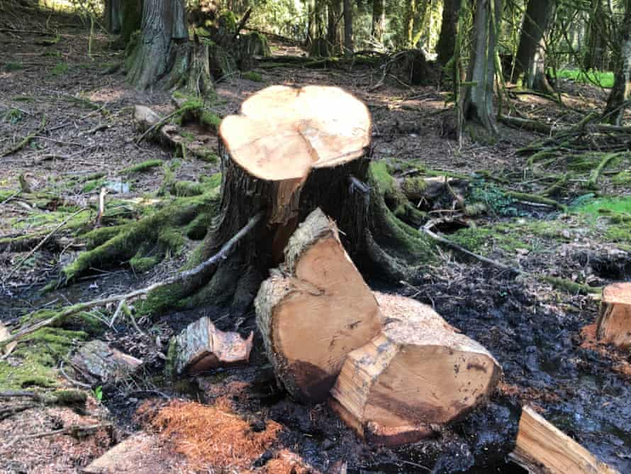 Western red cedar, estimated at 87 years old, poached on Stoney Hill.