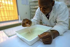 At the Target Malaria Insectarium, Musa Namuntugu inspects mosquito larvae