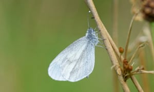 A white wood butterfly, wings folded