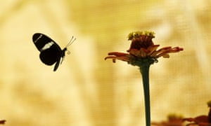 A morpho helenor butterfly in Alajuela, Costa Rica