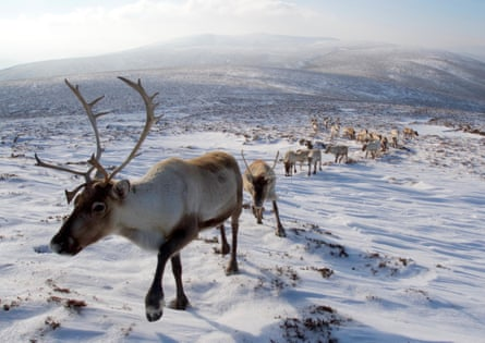 A herd at the Cairngorms Reindeer Centre