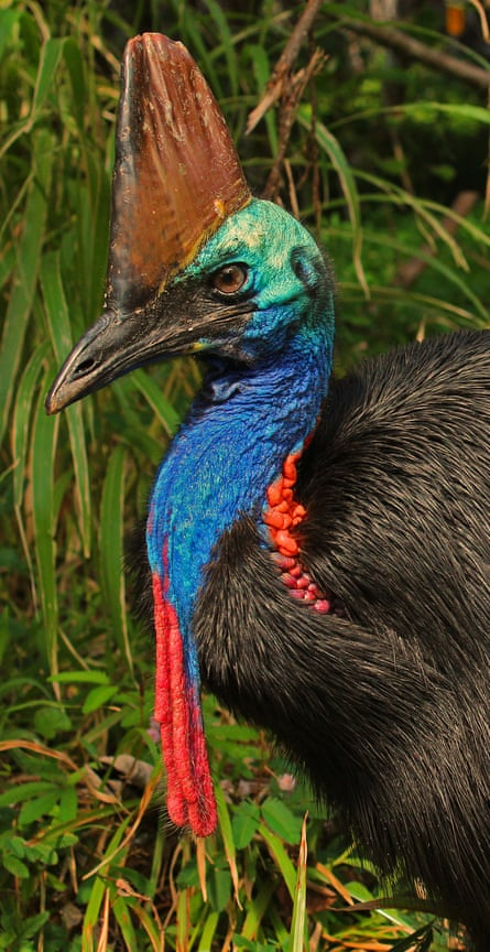 The flightless cassowary is one of the world's largest and heaviest birds.
