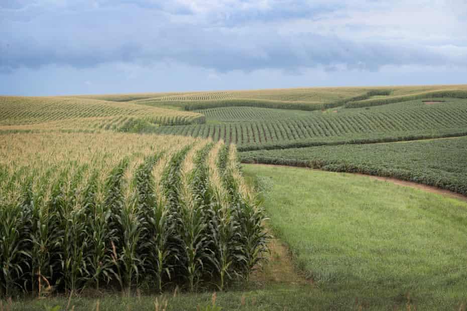 Corn and soybeans grow on a farm near Tipton, Iowa.