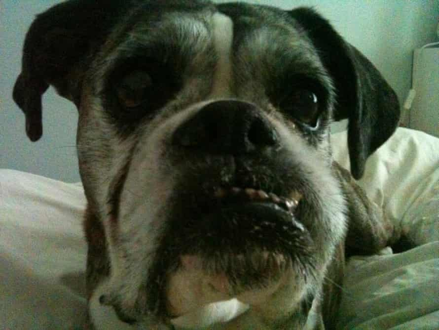 Lily, Michele Hanson's old boxer, whose jaw jutted out som much that its teeth didn't meet