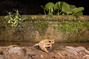 The spiny common toad (Bufo spinosus)