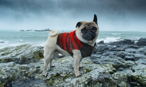Dennis the Pug braves the elements on the coast at Mousehole, Cornwall