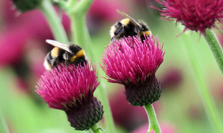 Bees collecting nectar from thistles.