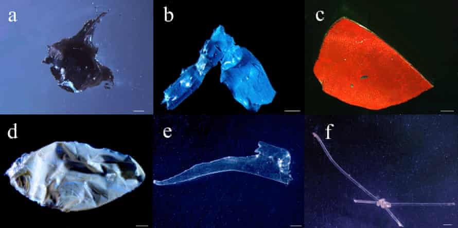 Plastic debris from stomachs of Serrasalmidae fish from the Xingu River.