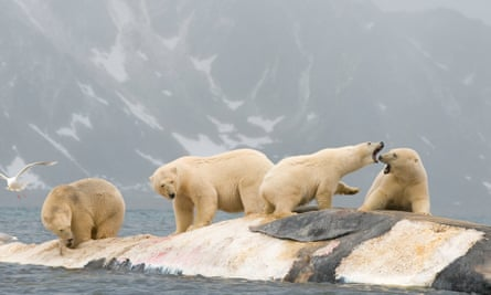 Polar bears fight over a whale carcass in Svalbard, Norway. the country's sovereign wealth has become increasingly concerned about the impact of its investments on the environment.