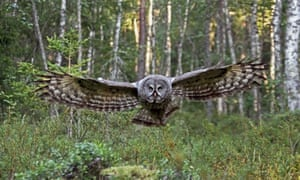 A Great Grey Owl hunting in a Finnish forest.