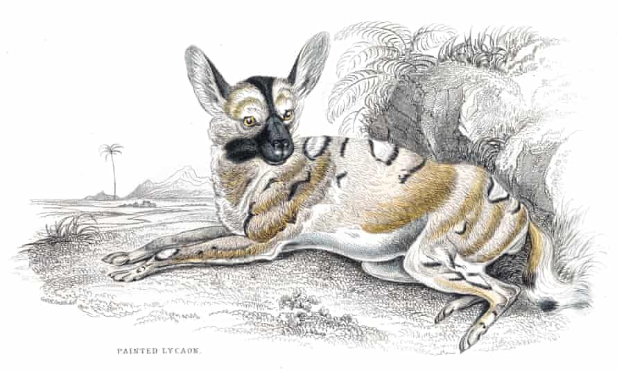 The African painted dog does not look much like this William Jardine engraving from 1840, but it does have very large ears.