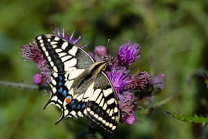 The British swallowtail is almost never seen far from the Norfolk Broads.