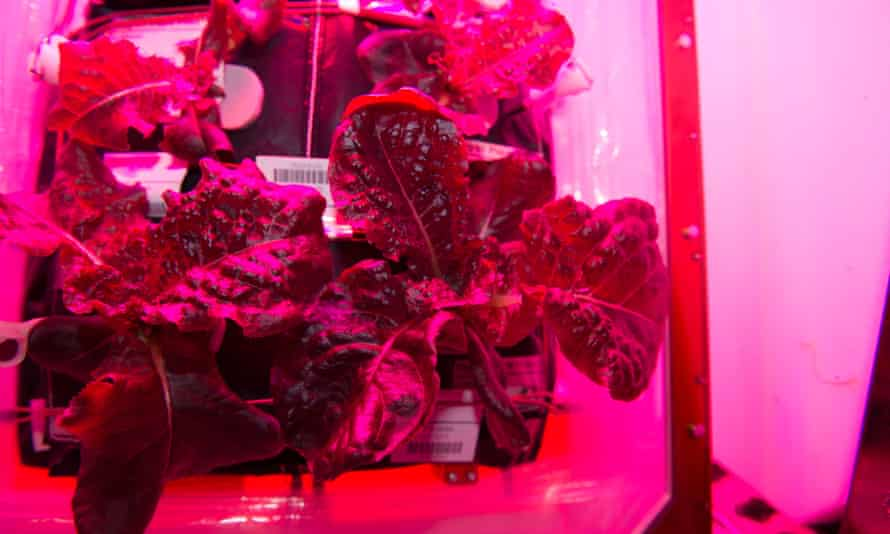 A crop of 'Outredgeous' red romaine lettuce grown in the Veggie planting system on the International Space Station.