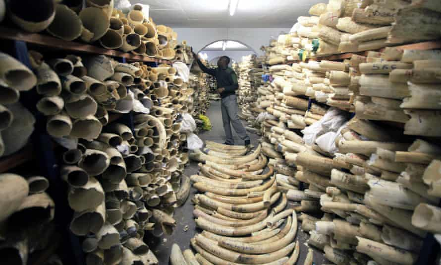 A Zimbabwe national parks official inspects a stockpile of ivory seized from poachers.