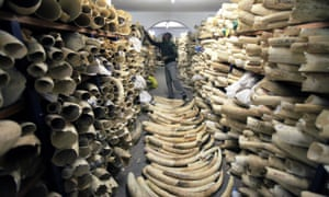 A Zimbabwe National Parks official inspects the country's ivory stockpile in Harare.