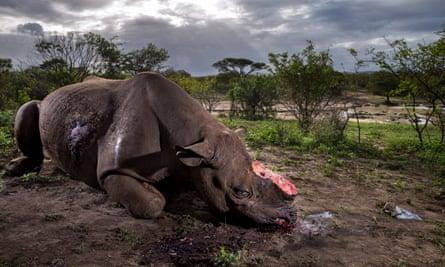 A dead black rhino bull