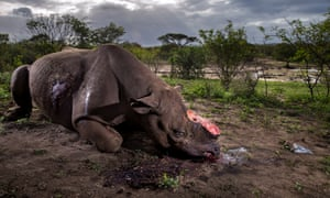 A Black Rhino bull illegally killed for its horns at Hluhluwe–Imfolozi Park, South Africa.