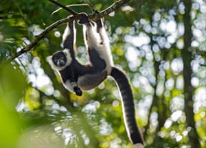 A black-and-white ruffed lemur (Varecia variegata), Ankanin Ny Nofy, Madagascar