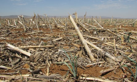 Maize fields in the Suikerbosrand in South Africa which for the last few months has been experiencing severe drought