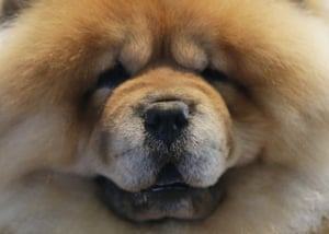 A Chow Chow gets prepared to compete at the 143rd Annual Westminster Kennel Club Dog Show