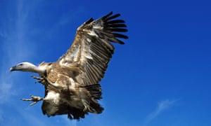A griffon vulture in flight.