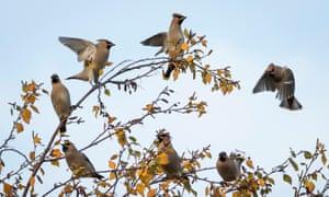 A flock of waxwings on a birch tree.