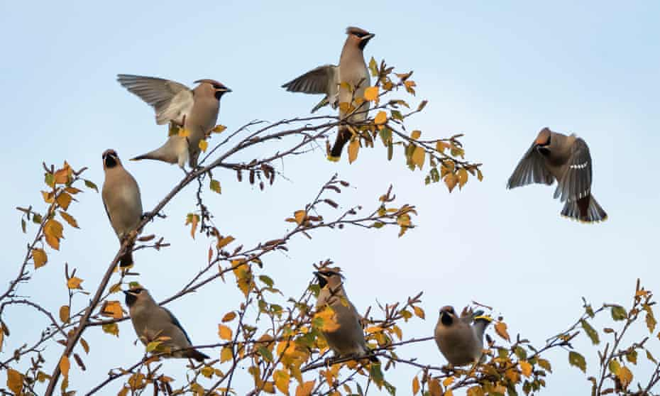 Flock of waxwings on a birch tree, Perth Scotland.