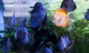 Orange fish surrounded by blue fish in tank