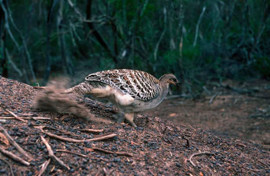 A malleefowl builds a mound to incubate its eggs.