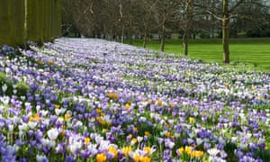 Crocuses in Spring, Trinity College Cambridge, UK.