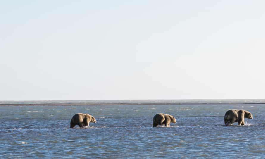 Polar bears in the shallow water of the Beaufort sea in Kaktovik, Alaska.