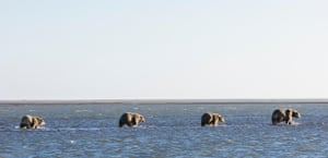 Sow polar bear (Ursus maritimus) and cubs walking in shallow water in the Beaufort Sea in Kaktovik, Alaska. On 19 October the US Senate voted down a Democratic measure to protect the vast refuge, the largest in the United States, from future oil and gas drilling.
