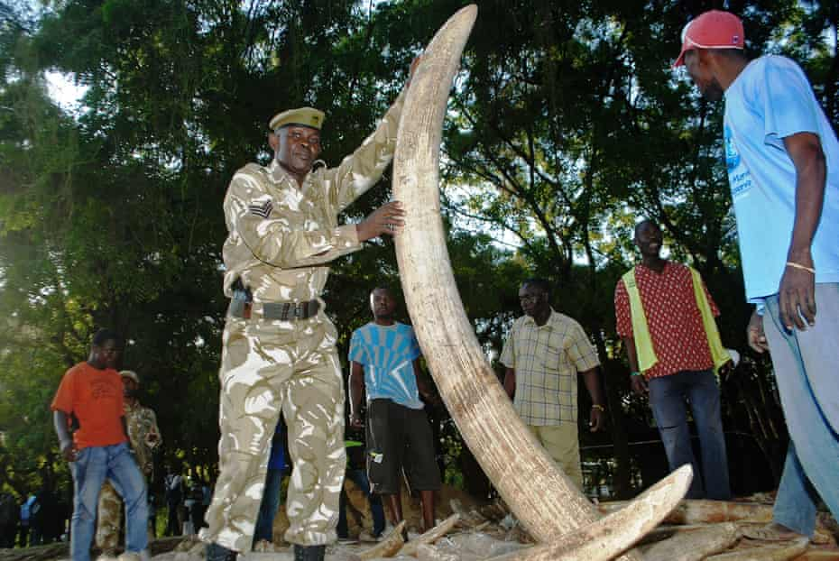 A wildlife service officer holds one of the ivory tusks used as evidence in the case against Feisal Mohamed Ali.
