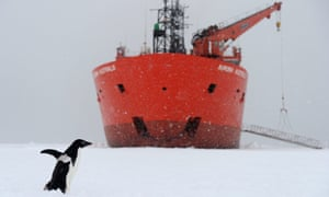 An Adelie penguin walks past the bow of the Australian Antarctic Division's chartered icebreaker the Aurora Australis.
