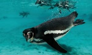 Humboldt penguins at London zoo