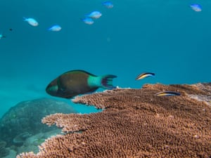 """Two cleaner wrasses swim behind a parrotfish among healthy corals. Cleaner wrasses depend on living plate coral to undertake their role on a reef, which is to clean other fish. They perform an important function for most fish species. """"But they need that healthy plate coral as a home and to survive,"""" Miller says. """"Without it they can't survive. Loss of coral leads to loss of eco-system function."""""""