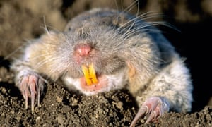Coming out on top … a northern pocket gopher surfacing from its dirt hole.