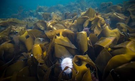 Underwater sealife on the Isle of Canna, Scotland.