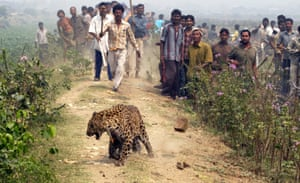 A leopard walks with a tranquiliser dart in the residential area of Jyotikuchi in Guwahati, the capital city of the northeastern state of Assam