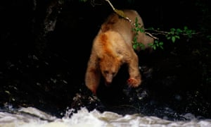 The Great Bear rainforest is the habitat of the so-called spirit bear, a rare subspecies of the black bear with white fur and claws.