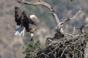 A male bald eagle brings a carp to feed its young in the nest, California, US